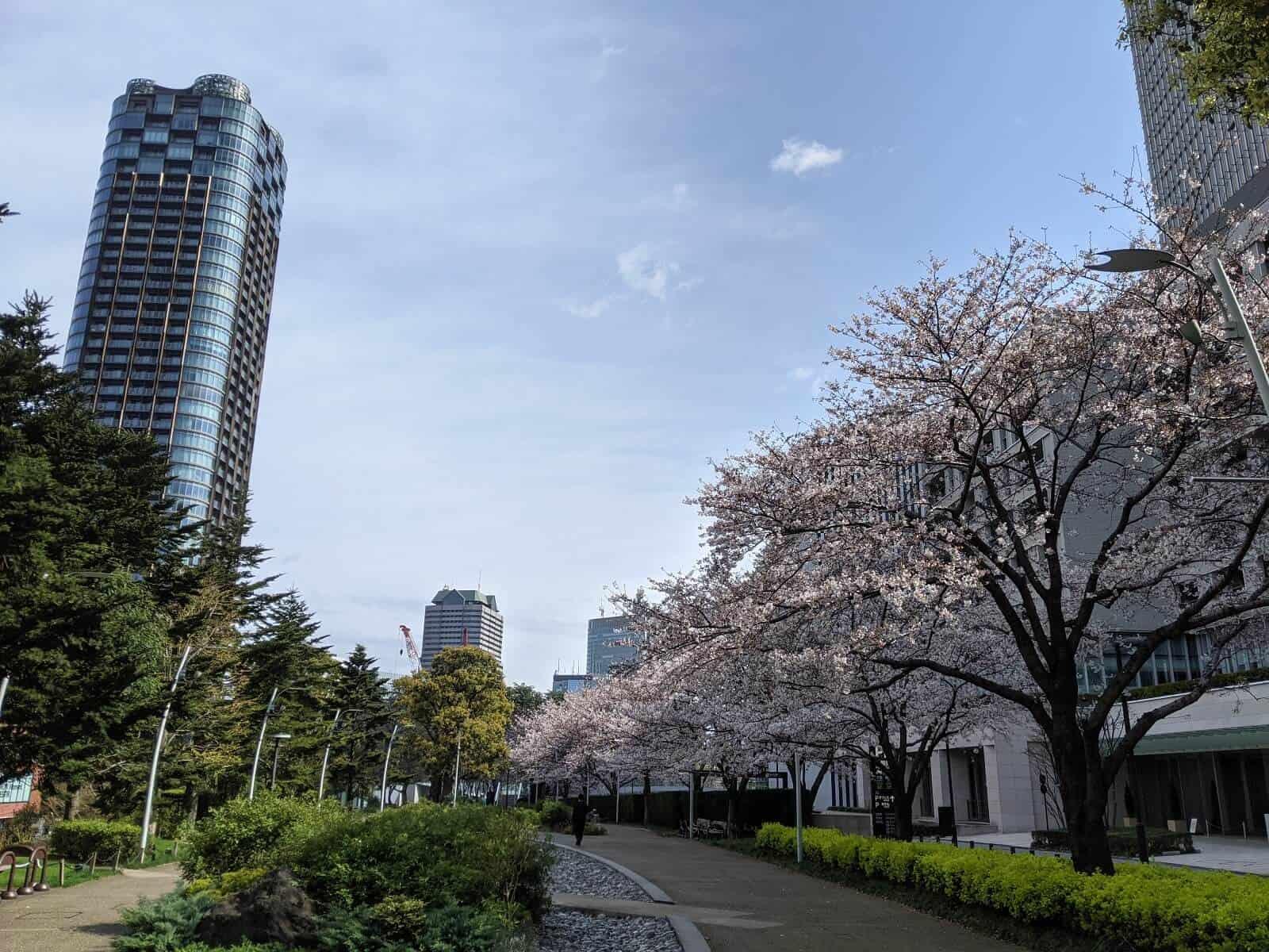 六本木ミッドタウンの桜